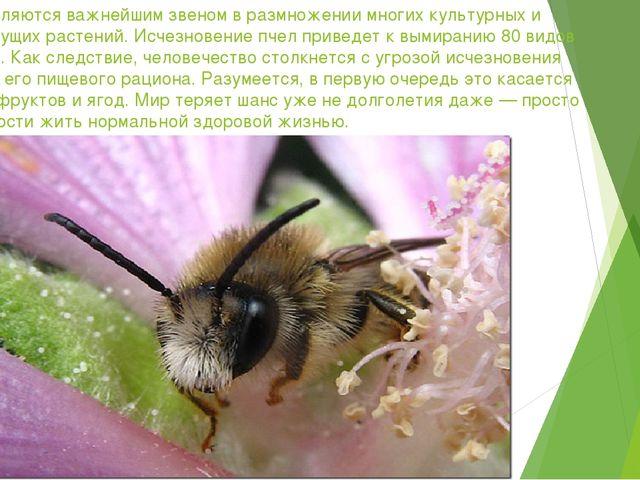 Пчелы являются важнейшим звеном в размножении многих культурных и дикорастущи...
