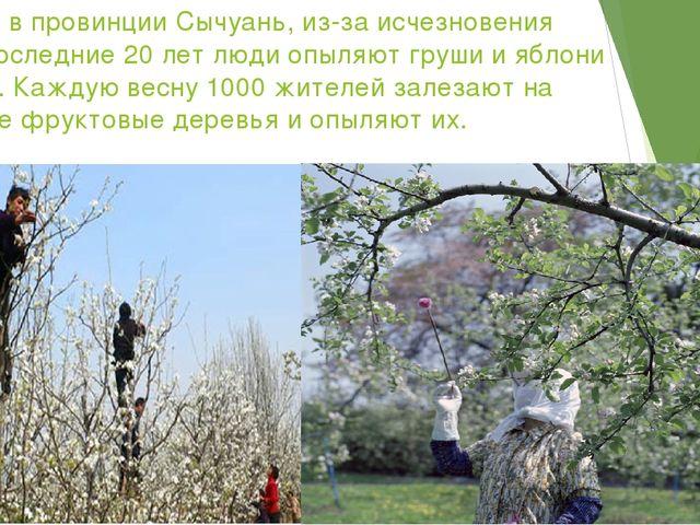 В Китае, в провинции Сычуань, из-за исчезновения пчел в последние 20 лет люди...