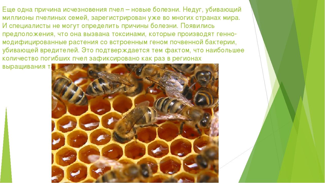 Еще одна причина исчезновения пчел – новые болезни. Недуг, убивающий миллионы...