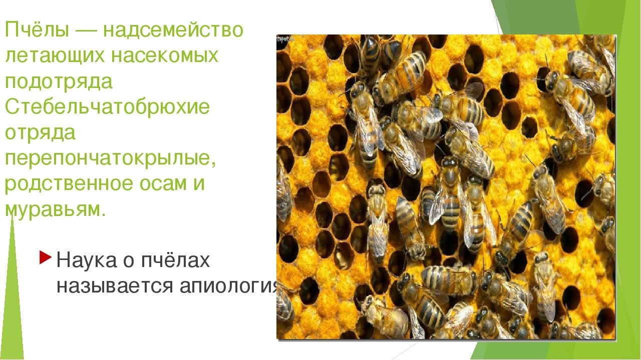 Пчёлы — надсемейство летающих насекомых подотряда Стебельчатобрюхие отряда пе...