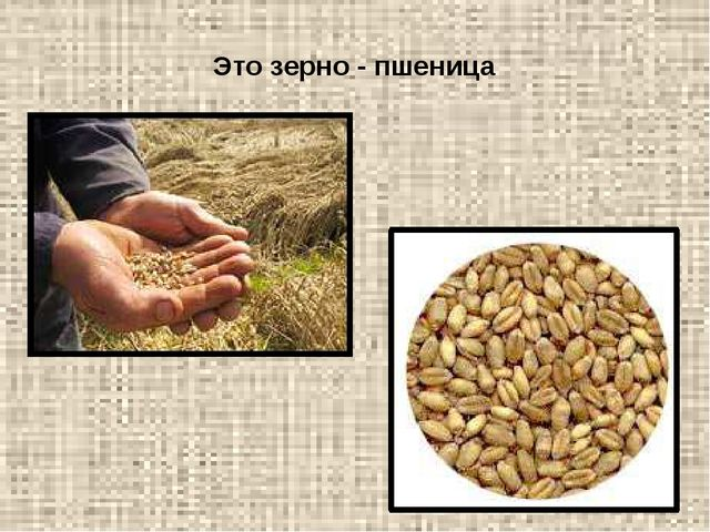 Это зерно - пшеница