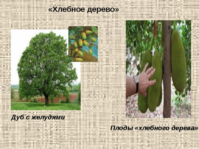 «Хлебное дерево» Дуб с желудями Плоды «хлебного дерева»
