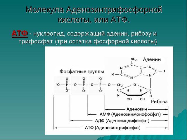 Молекула Аденозинтрифосфорной кислоты, или АТФ. АТФ - нуклеотид, содержащий а...