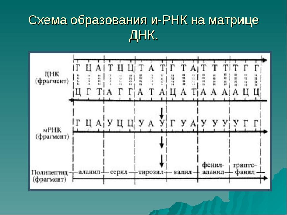 Схема образования и-РНК на матрице ДНК.