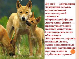 Ди́нго — одичавшая домашняя собака, единственный плацентарный хищник в абориг