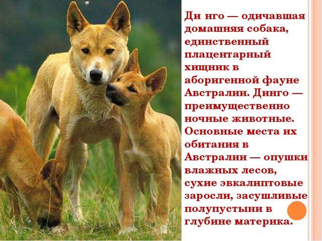Ди́нго — одичавшая домашняя собака, единственный плацентарный хищник в абориг...