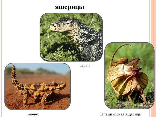 ящерицы варан молох Плащеносная ящерица