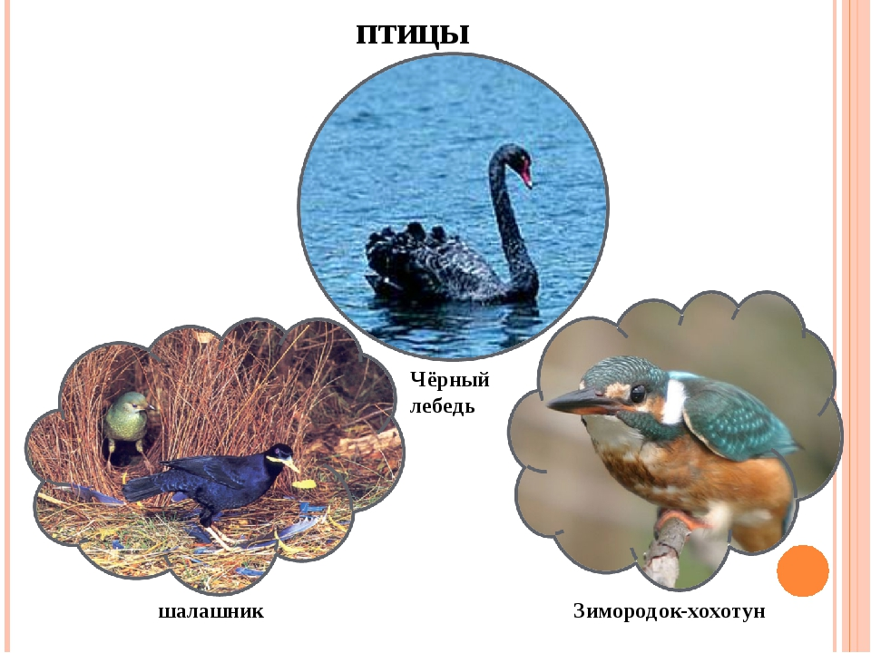 птицы Чёрный лебедь шалашник Зимородок-хохотун