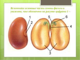 Вспомните основные части семени фасоли и укажите, что обозначено на рисунке ц
