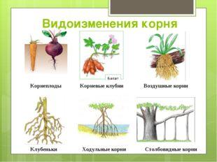 Видоизменения корня Корнеплоды Корневые клубни Воздушные корни Клубеньки Ходу