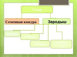Стебелёк Корешок Семя Семенная кожура Зародыш Почечка Семядоли (зародышевые
