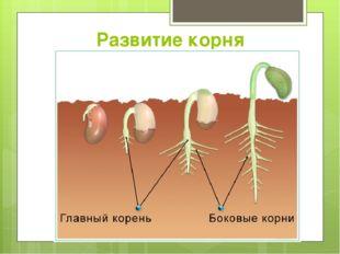 Развитие корня