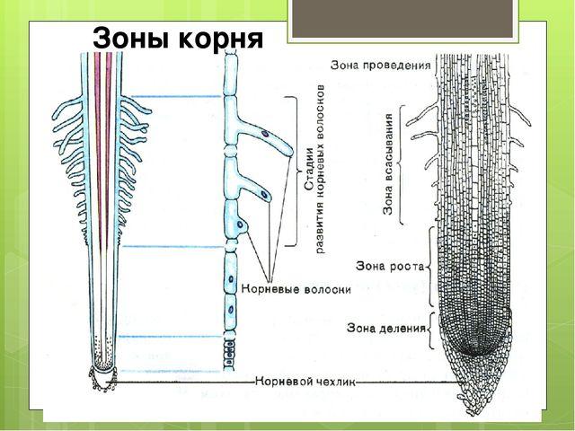Зоны корня