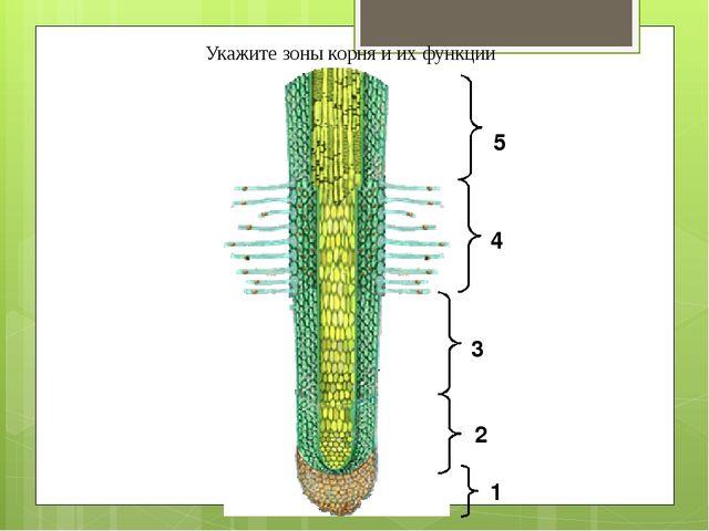 1 2 3 4 5 Укажите зоны корня и их функции