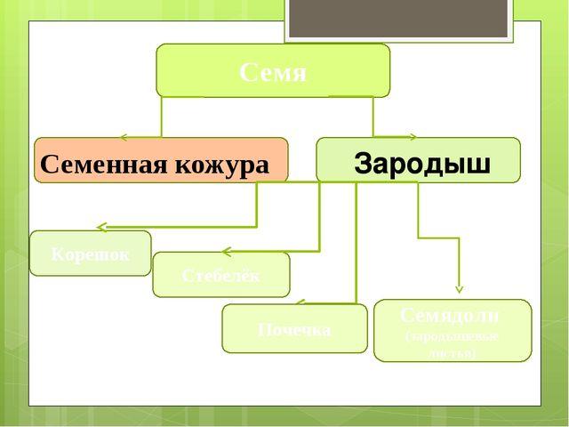 Стебелёк Корешок Семя Семенная кожура Зародыш Почечка Семядоли (зародышевые...