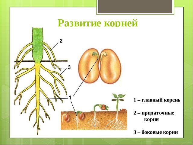 Развитие корней 1 – главный корень 2 – придаточные корни 3 – боковые корни