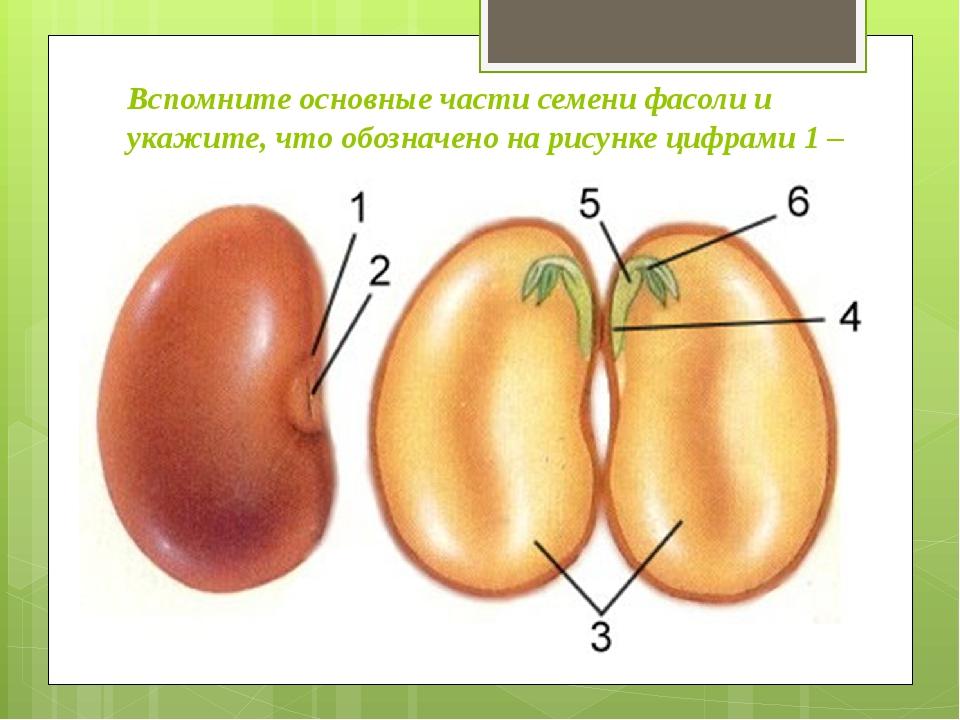 Вспомните основные части семени фасоли и укажите, что обозначено на рисунке ц...
