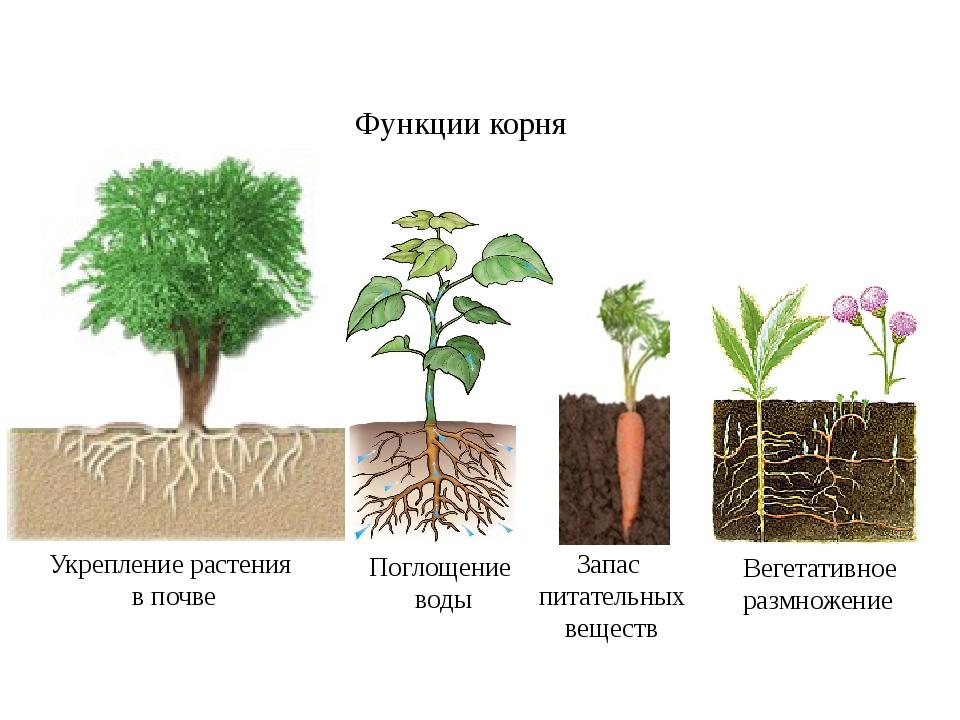 Функции корня Укрепление растения в почве Поглощение воды Запас питательных в...