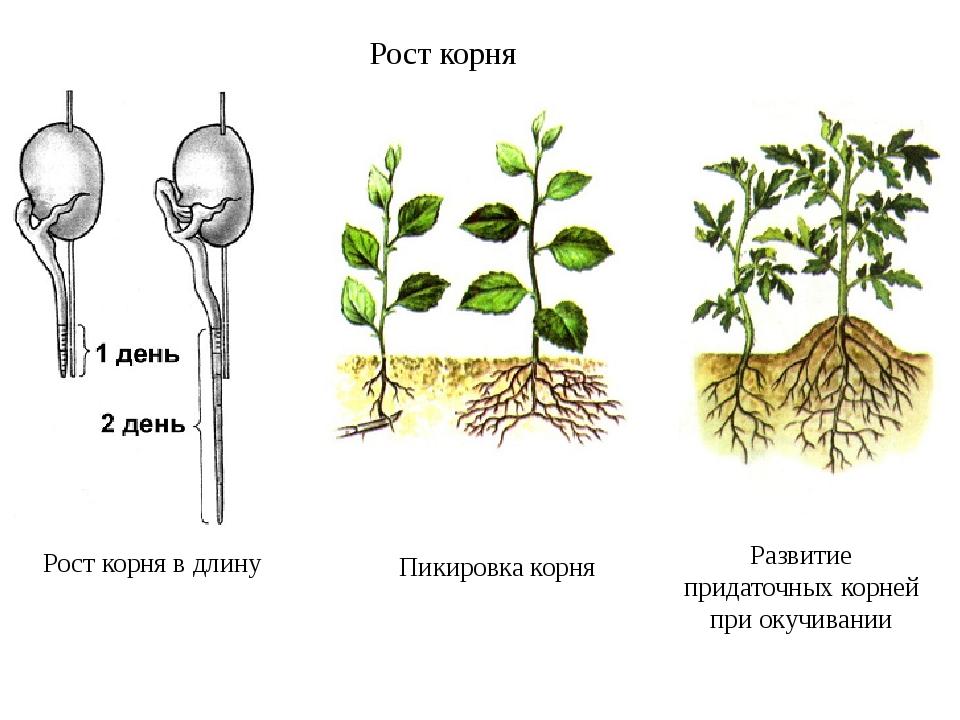 Рост корня в длину Пикировка корня Развитие придаточных корней при окучивании...