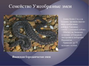 Семейство Ужеобразные змеи Яванская бородавчатая змея Длина более 2 м, а за