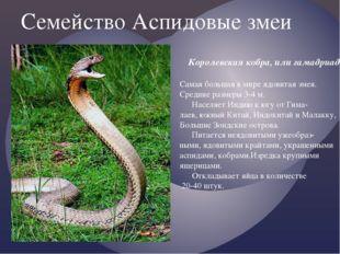 Семейство Аспидовые змеи Королевская кобра, или гамадриад. Самая большая в ми