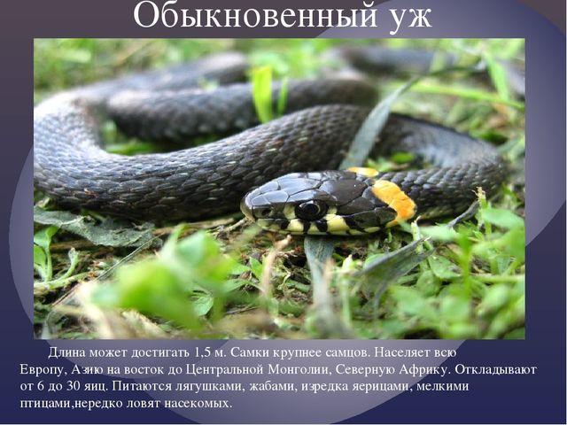 Обыкновенный уж Длина может достигать 1,5 м. Самки крупнее самцов. Населяет...