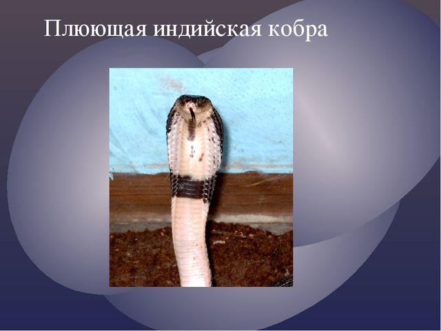 Плюющая индийская кобра