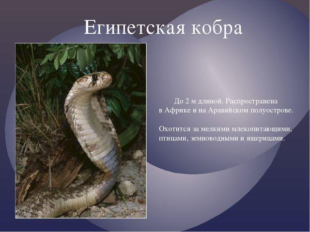 Египетская кобра До 2 м длиной. Распространена в Африке и на Аравийском полу...