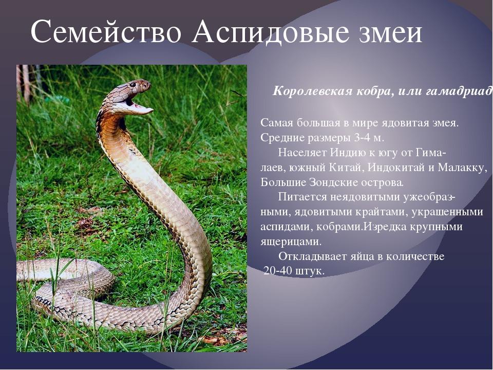 Семейство Аспидовые змеи Королевская кобра, или гамадриад. Самая большая в ми...