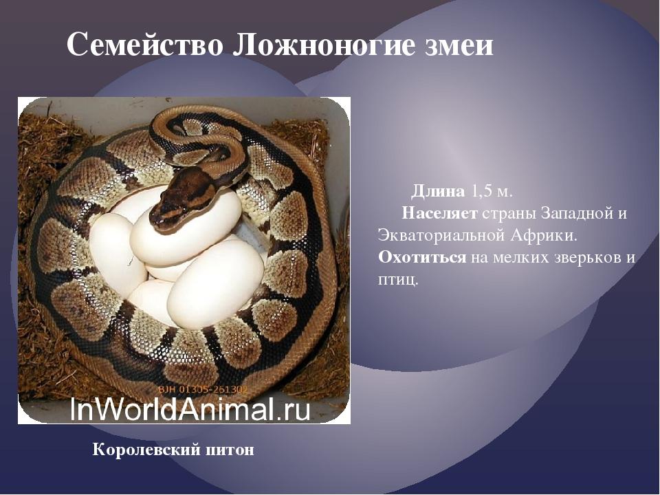Семейство Ложноногие змеи Королевский питон Длина 1,5 м. Населяет страны Зап...