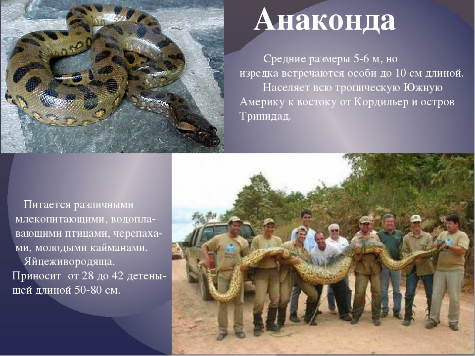 Анаконда Средние размеры 5-6 м, но изредка встречаются особи до 10 см длиной...