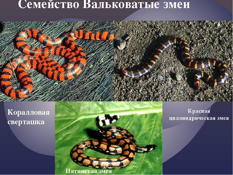 Семейство Вальковатые змеи Коралловая сверташка Красная циллиндрическая змея...