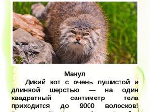 Манул Дикий кот с очень пушистой и длинной шерстью — на один квадратный санти