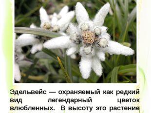 Эдельвейс — охраняемый как редкий вид легендарный цветок влюбленных. В высоту