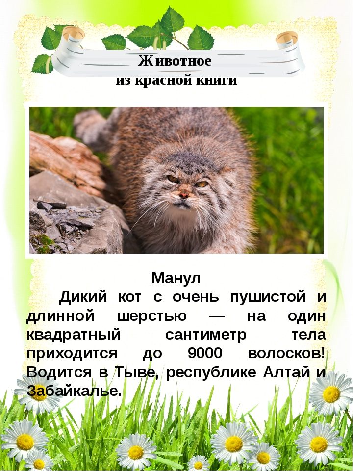 Манул Дикий кот с очень пушистой и длинной шерстью — на один квадратный санти...