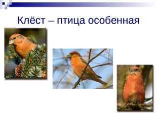 Клёст – птица особенная