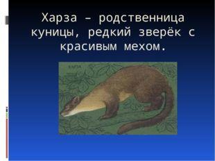 Харза – родственница куницы, редкий зверёк с красивым мехом.
