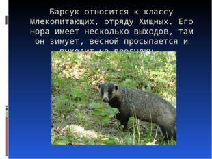 Барсук относится к классу Млекопитающих, отряду Хищных. Его нора имеет нескол
