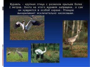 Журавль - крупная птица с размахом крыльев более 2 метров. Охота на этого жур
