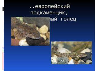..европейский подкаменщик, обыкновенный голец