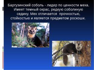 Баргузинский соболь - лидер по ценности меха. Имеет темный окрас, редкую соб