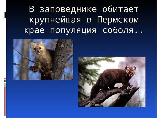 В заповеднике обитает крупнейшая в Пермском крае популяция соболя..