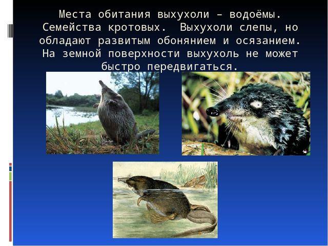 Места обитания выхухоли – водоёмы. Семейства кротовых. Выхухоли слепы, но обл...