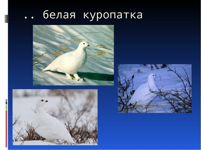 .. белая куропатка