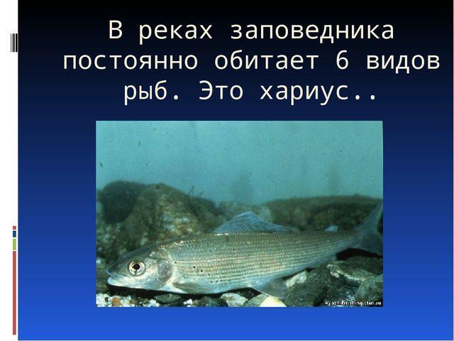 В реках заповедника постоянно обитает 6 видов рыб. Это хариус..