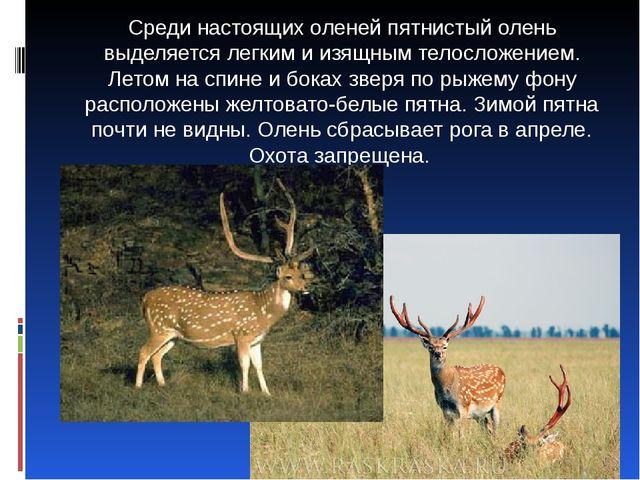 Среди настоящих оленей пятнистый олень выделяется легким и изящным телосложе...