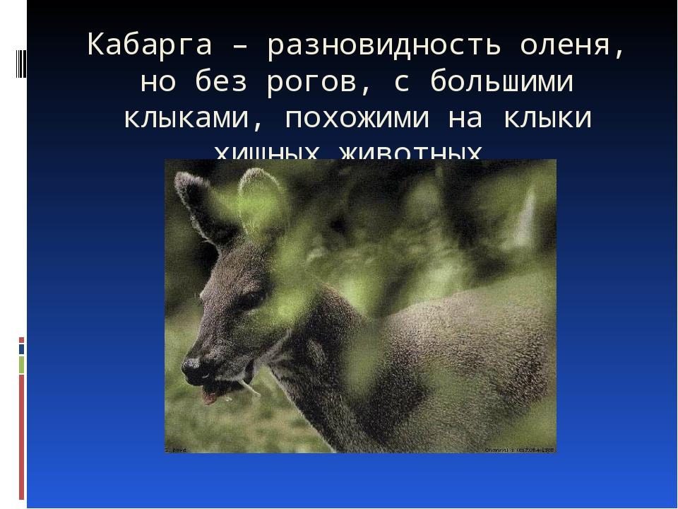 Кабарга – разновидность оленя, но без рогов, с большими клыками, похожими на...