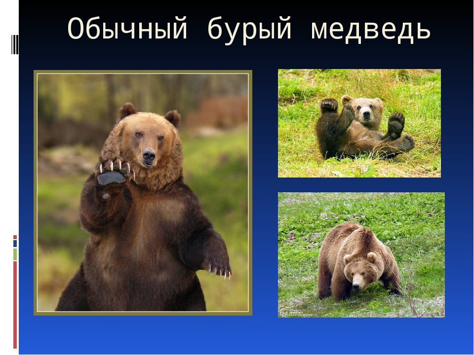 Обычный бурый медведь