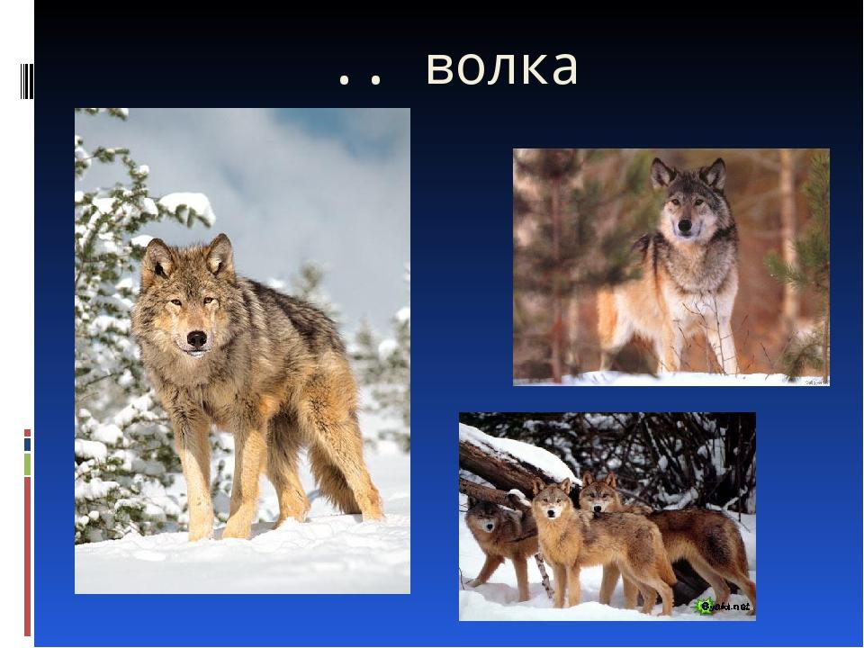 .. волка