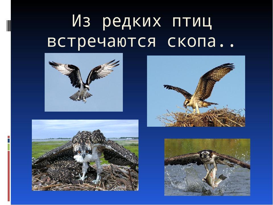 Из редких птиц встречаются скопа..